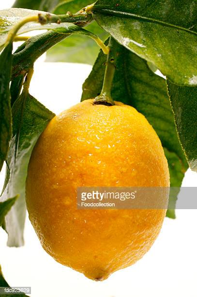fresh lemon on branch with leaves - lemon leaf stock photos and pictures