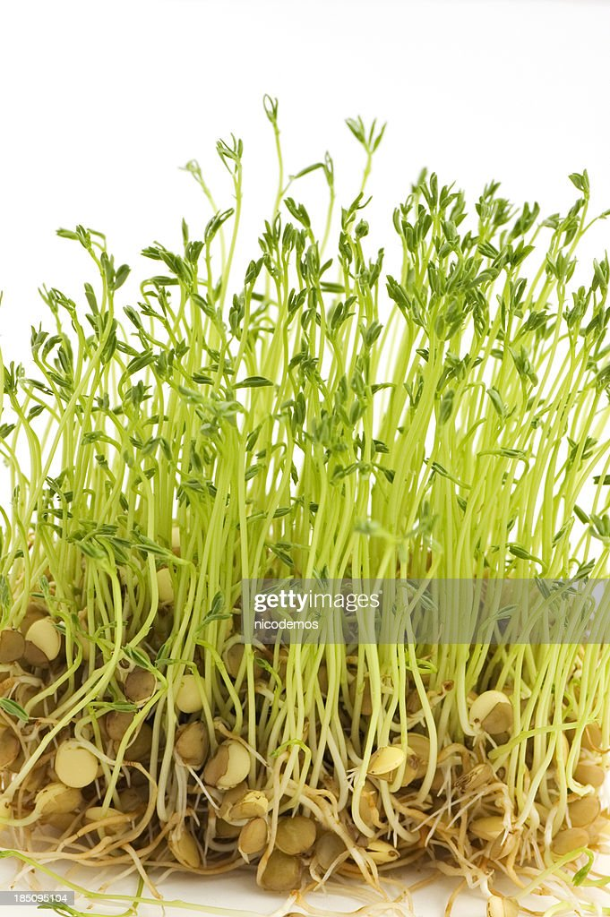 Fresh Lentil Sprouts : Stock Photo