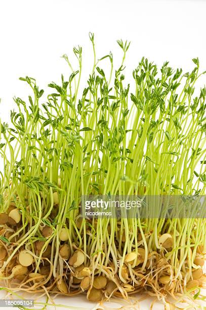 Fresh Lentil Sprouts