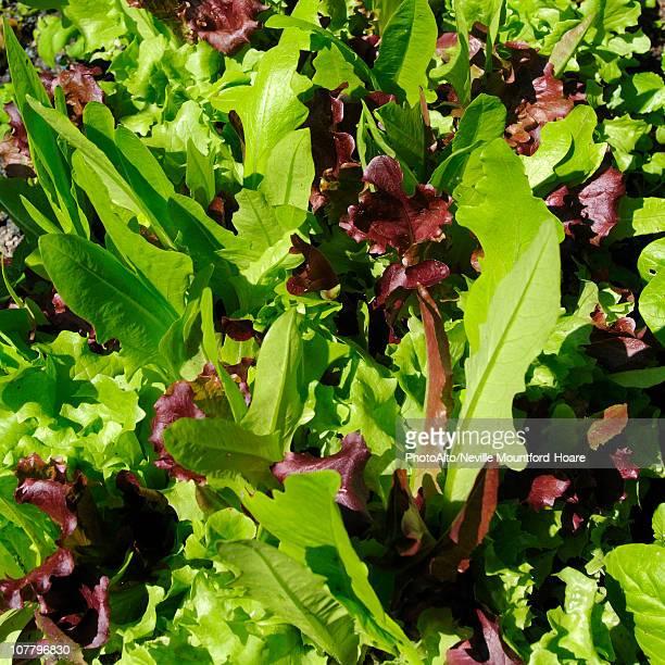 Fresh lettuce leaves in sunlight