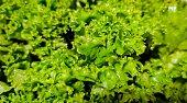full frame fresh lettuce lettuce texture