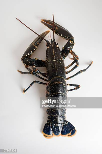 fresh lobster - homard photos et images de collection