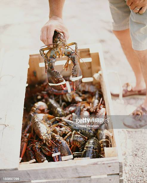 fresh lobsters in a wooden crate. - lobster fishing stock photos and pictures