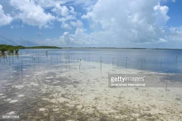 Fresh mangrove shoots colonizing a Caribbean beach