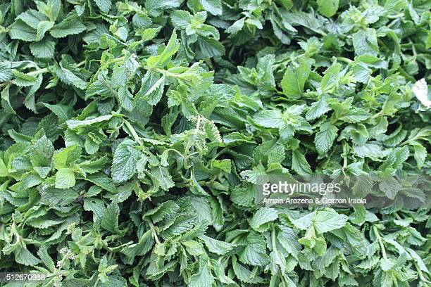 Fresh mint, close up
