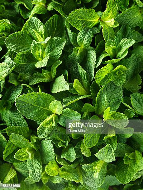 fresh mint, full frame, close-up - mint leaf culinary stock pictures, royalty-free photos & images