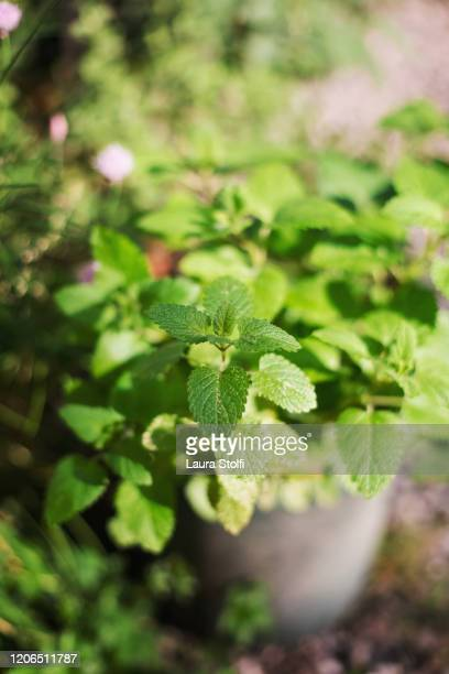 fresh mint growing in concrete pot - mint leaf culinary stock pictures, royalty-free photos & images