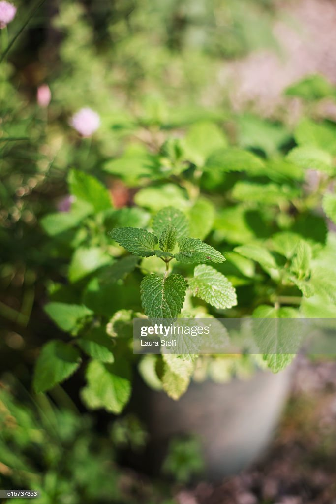 Fresh mint growing in pot in sunny herb garden : Stock Photo