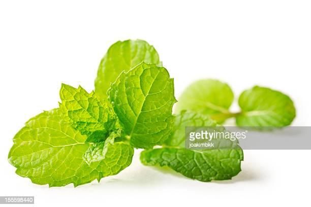 Fresh mint leaf isolated on white in macro