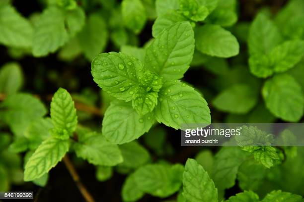 Fresh Mint Leafs in garden