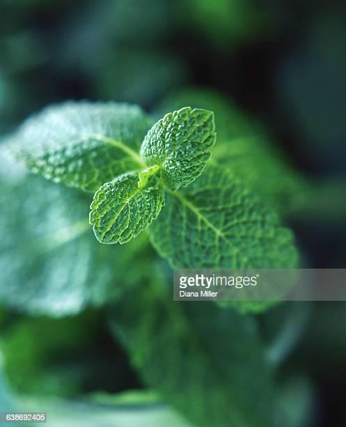 fresh mint leaves, close-up - minze stock-fotos und bilder