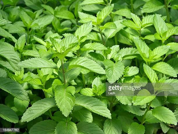 Fresh mint leaves growing in a garden