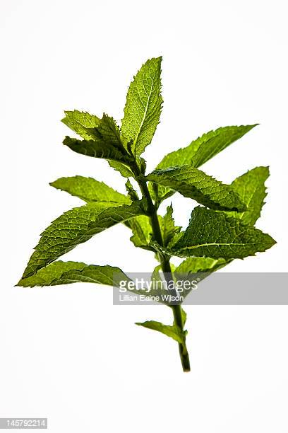 Fresh Mint Leaves on White