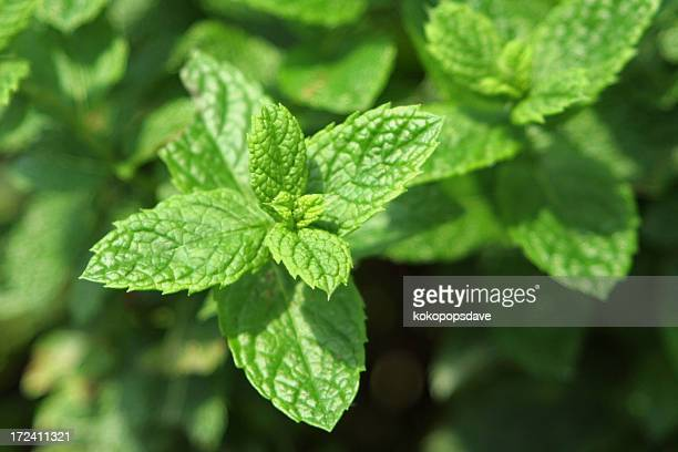fresh mint - mint leaf stock photos and pictures