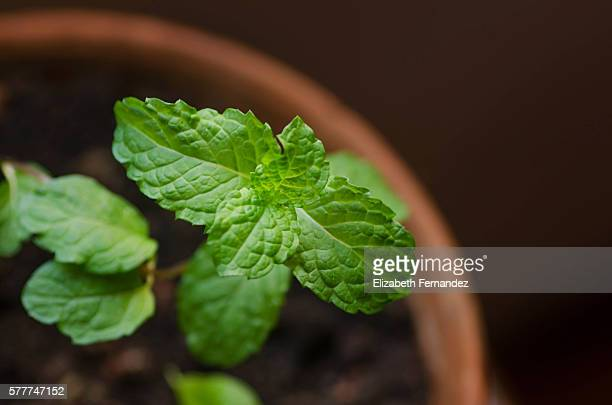 Fresh Mint Plant Potted