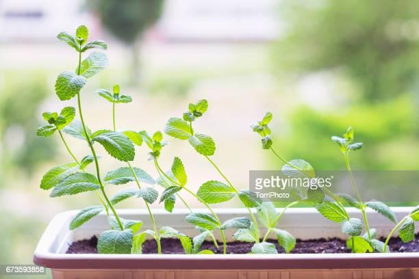 fresh mint plant potted - erva cidreira imagens e fotografias de stock