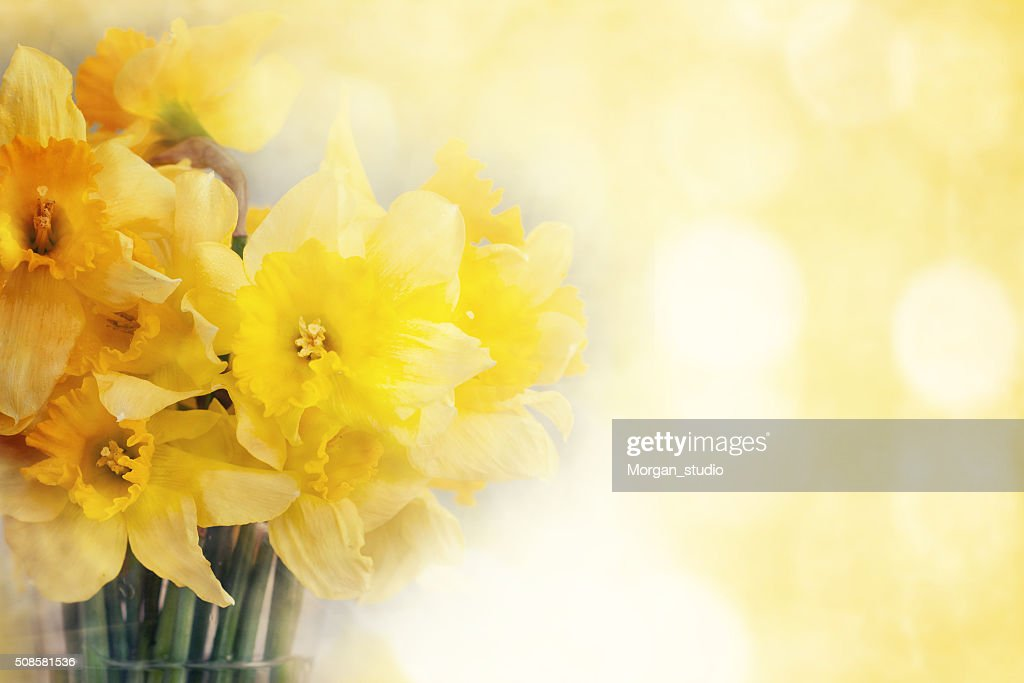 Fresh narcissus, greeting card for mothers day, 8 March, Valenti : Stock Photo