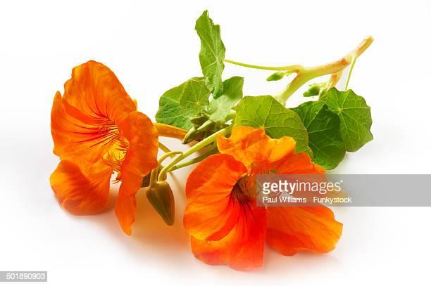 Fresh nasturtium flowers and leaves