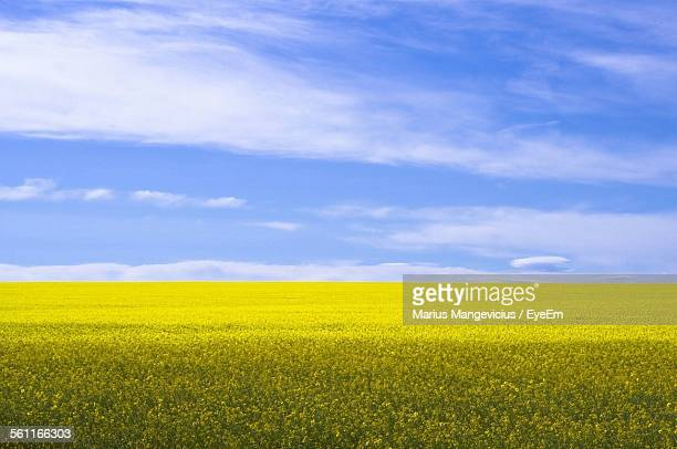 fresh oilseed rape field landscape against blue sky - brassica stock photos and pictures