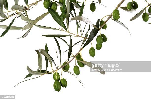 Fresh olives on twig, close-up