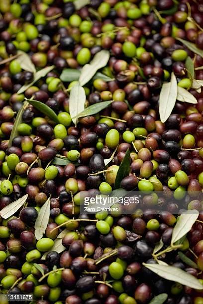 fresh olives - オリーブ ストックフォトと画像