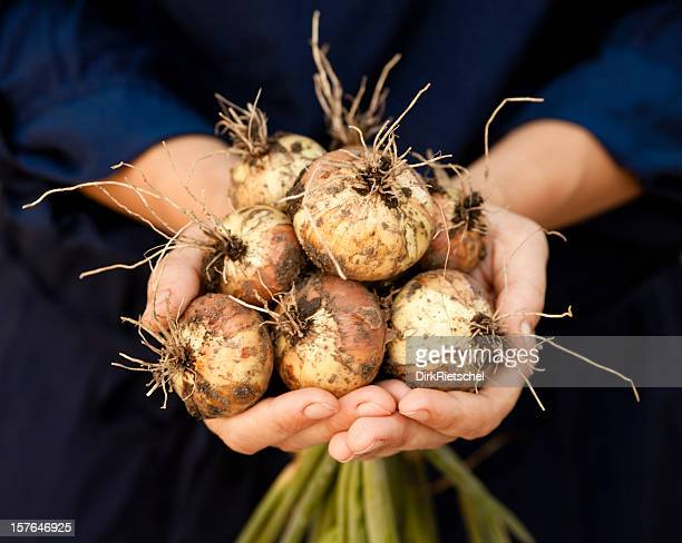 Fresh onions with roots.