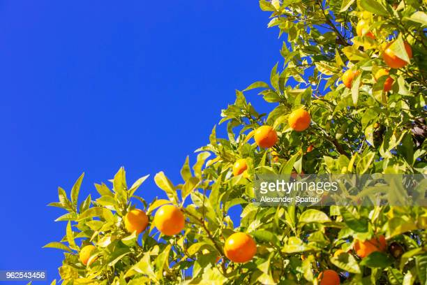 Fresh oranges growing on a tree against clear blue sky