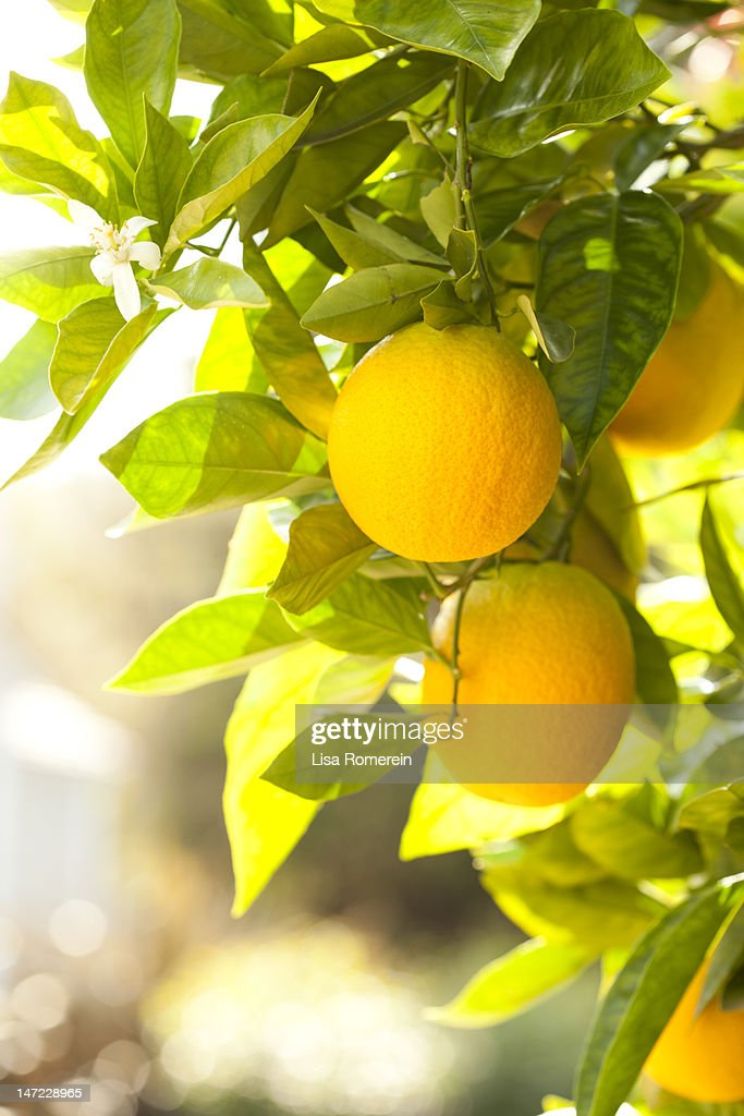 Fresh oranges growing on a tree with blossoms : Stock Photo