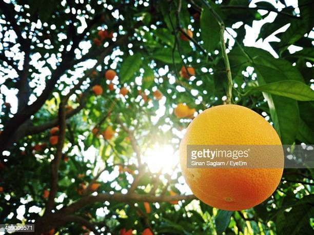 Fresh oranges growing on tree