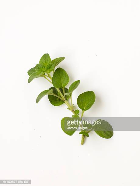 Fresh oregano on white background