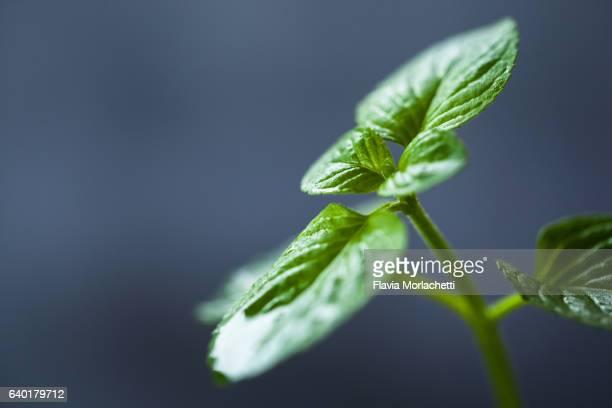 Fresh organic mint leaves