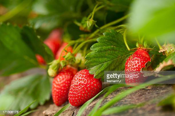 fresh organic strawberry - bush stock pictures, royalty-free photos & images