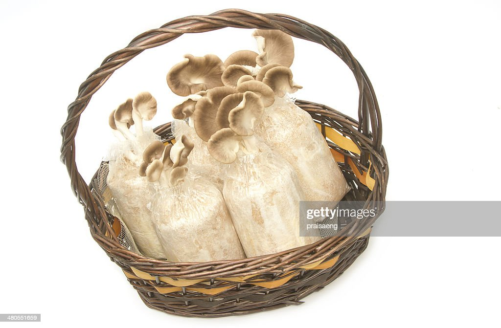 Fresh Oyster Mushrooms growing in soil and sawdust : Stock Photo