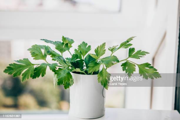 fresh parsley on kitchen table - ledge stock pictures, royalty-free photos & images