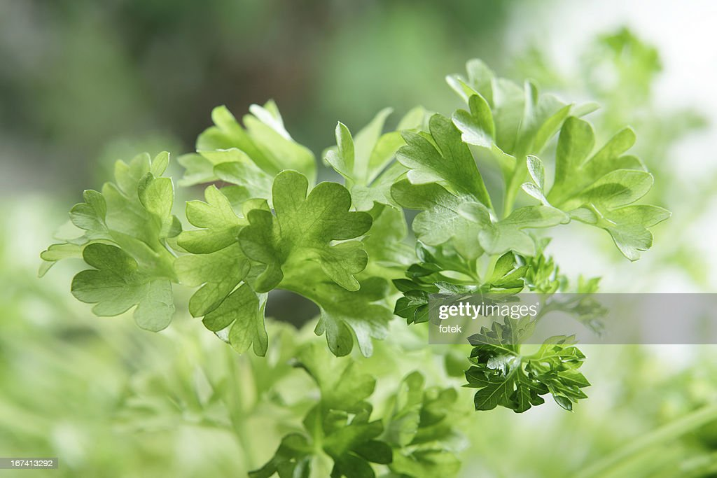 Fresh Parsley : Stockfoto