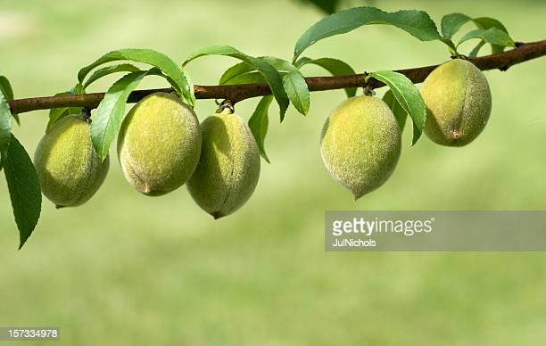 fresh peaches growing on branch - unripe stock photos and pictures