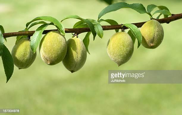 Pesche fresche sul ramo in crescita
