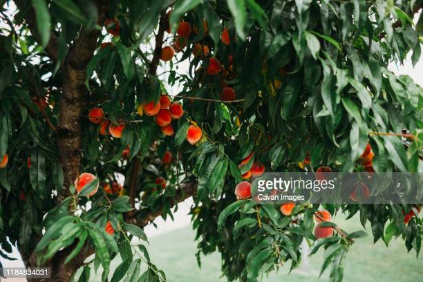fresh peaches hanging on tree in front yard during summer - peach tree stock pictures, royalty-free photos & images