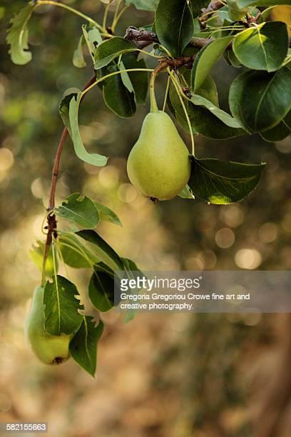 fresh pears - gregoria gregoriou crowe fine art and creative photography. fotografías e imágenes de stock