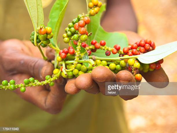 fresh peppercorn - zanzibar stock photos and pictures