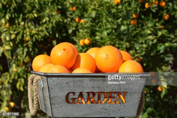 fresh picked california naval oranges in garden container - navel orange stock photos and pictures