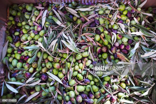 fresh picked green olives in a basket. - green olive fruit stock pictures, royalty-free photos & images