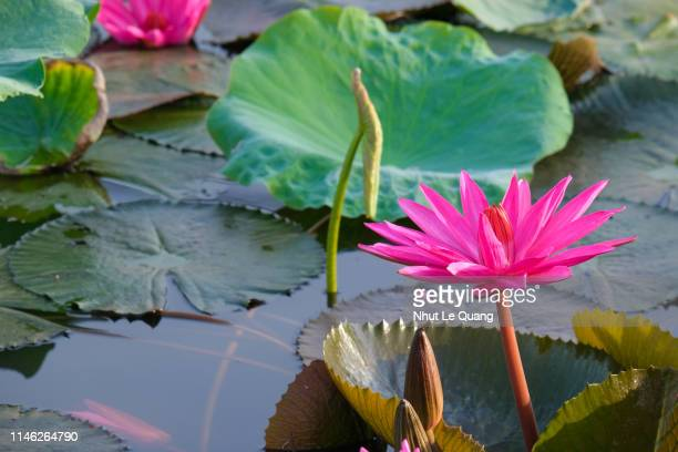 A fresh pink lotus flower or water lily