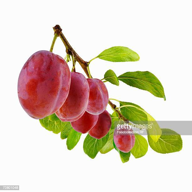 Fresh plums on branch