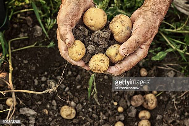 fresh potatoes - crop plant stock pictures, royalty-free photos & images
