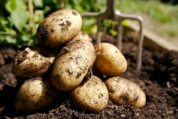fresh potatoes... -  potatoes stock pictures, royalty-free photos & images