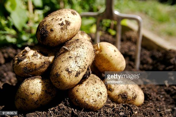 fresh potatoes... - raw potato stock pictures, royalty-free photos & images