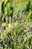 fresh purple lilac lavender flower blossom