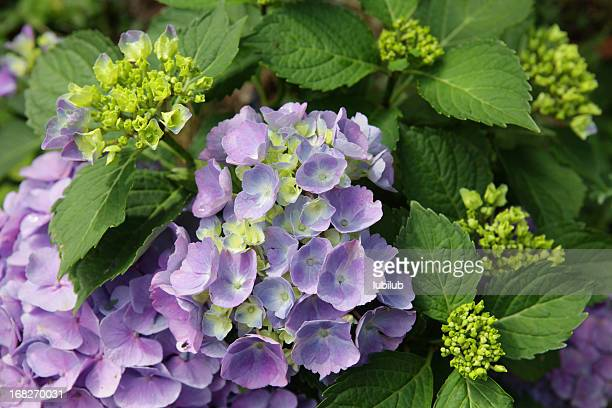 Fresh purple Hydrangea flowers with green leaves and flower buds