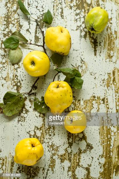 fresh quinces (cydonia oblonga) lying on weathered surface - branch stock pictures, royalty-free photos & images